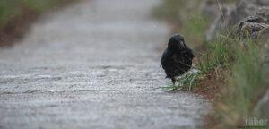 Kohlrabe im Regen, fotografiert am Broyekanal, Neuenburgersee, 27.04.2019