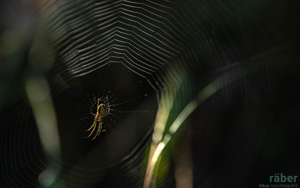 Spinne, entdeckt in Bäretswil
