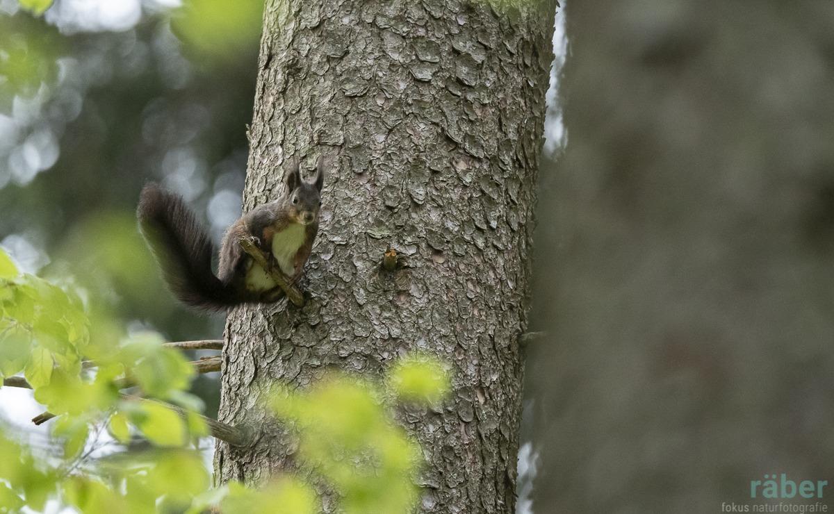 Eichhörnchen, entdeckt im Wald von Adetswil, 21.04.2020