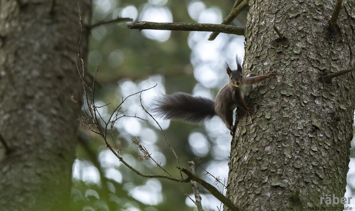 Eichhörnchen, Wald von Adetswil, 21.04.2020