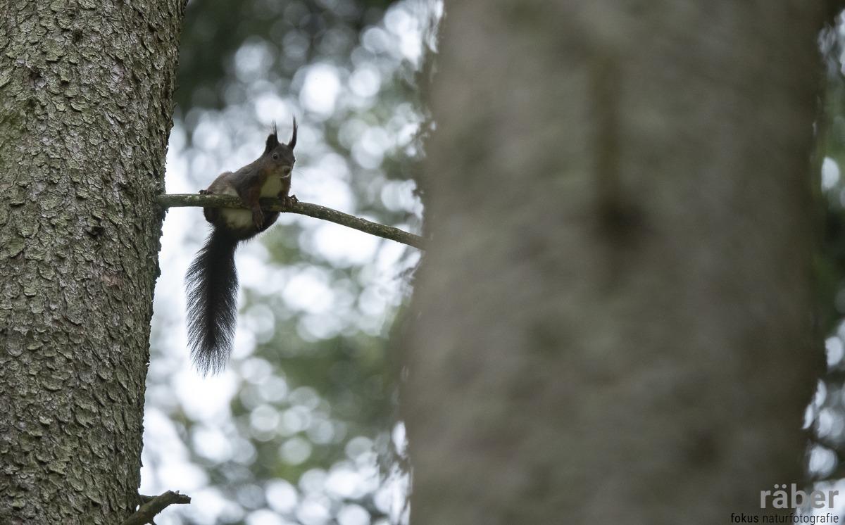 Was geht ab? Ein Eichhörnchen im Wald von Adetswil, 21.04.2020