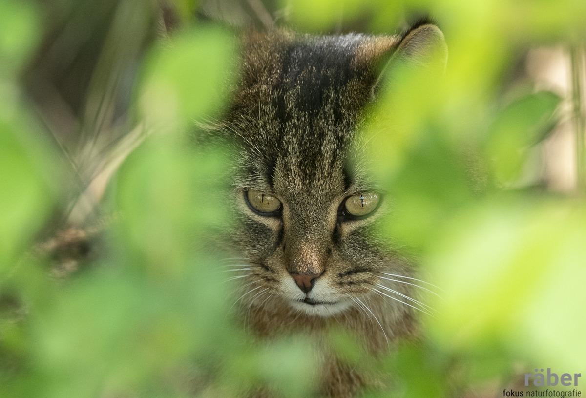 Katzenfotografie - Katze auf der Jagd - Wald Hittnau, 22.04.2020