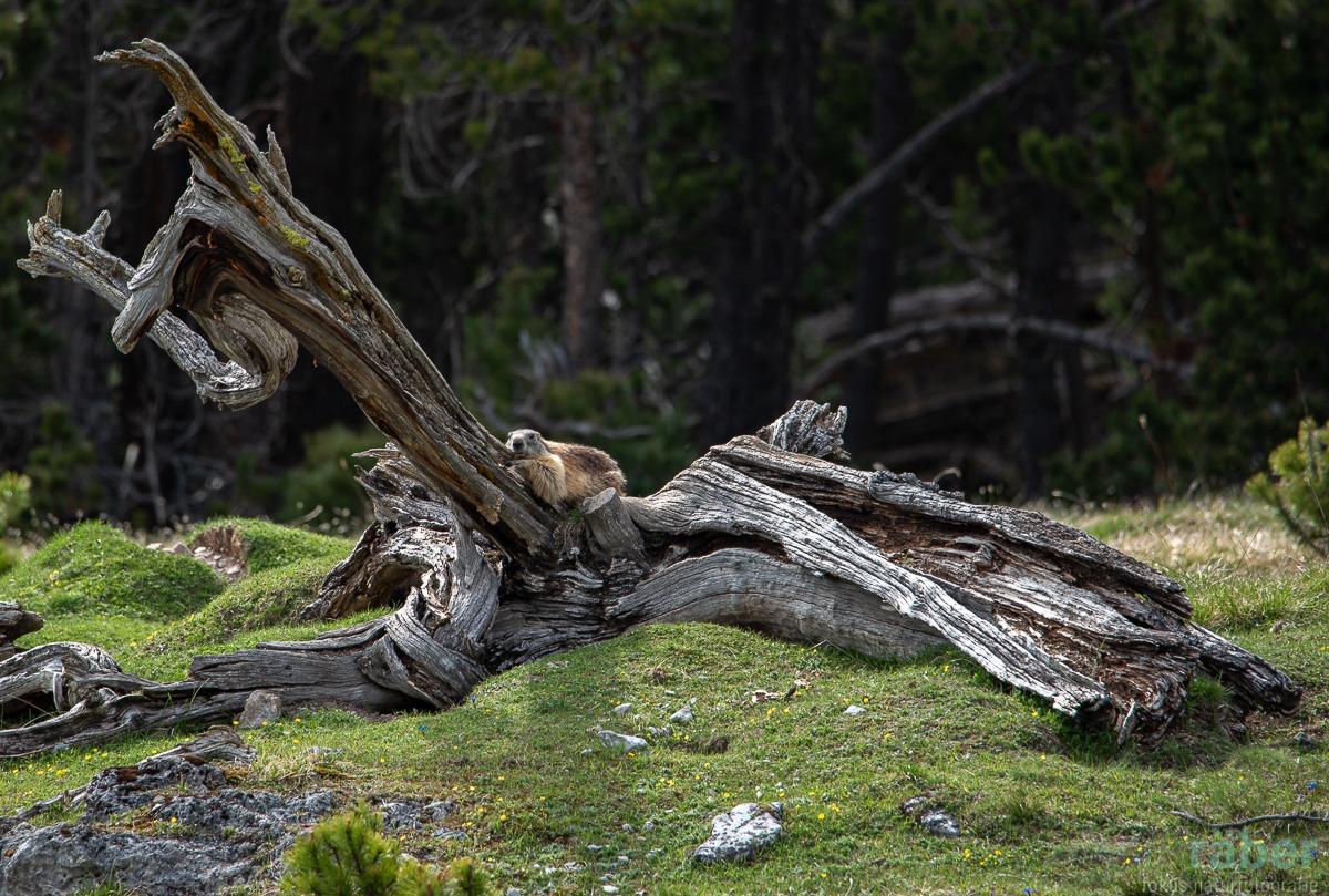 Murmeltier am Faulenzen, Nationalpark Graubünden, 23.5.2020