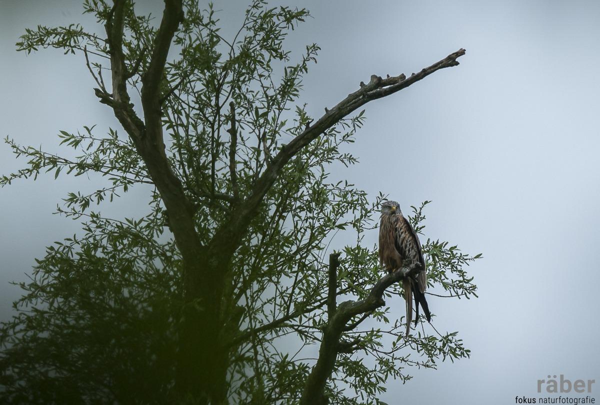 Rotmilan auf einem Baum, im Regen, Pfäffikersee - 13.05.2020