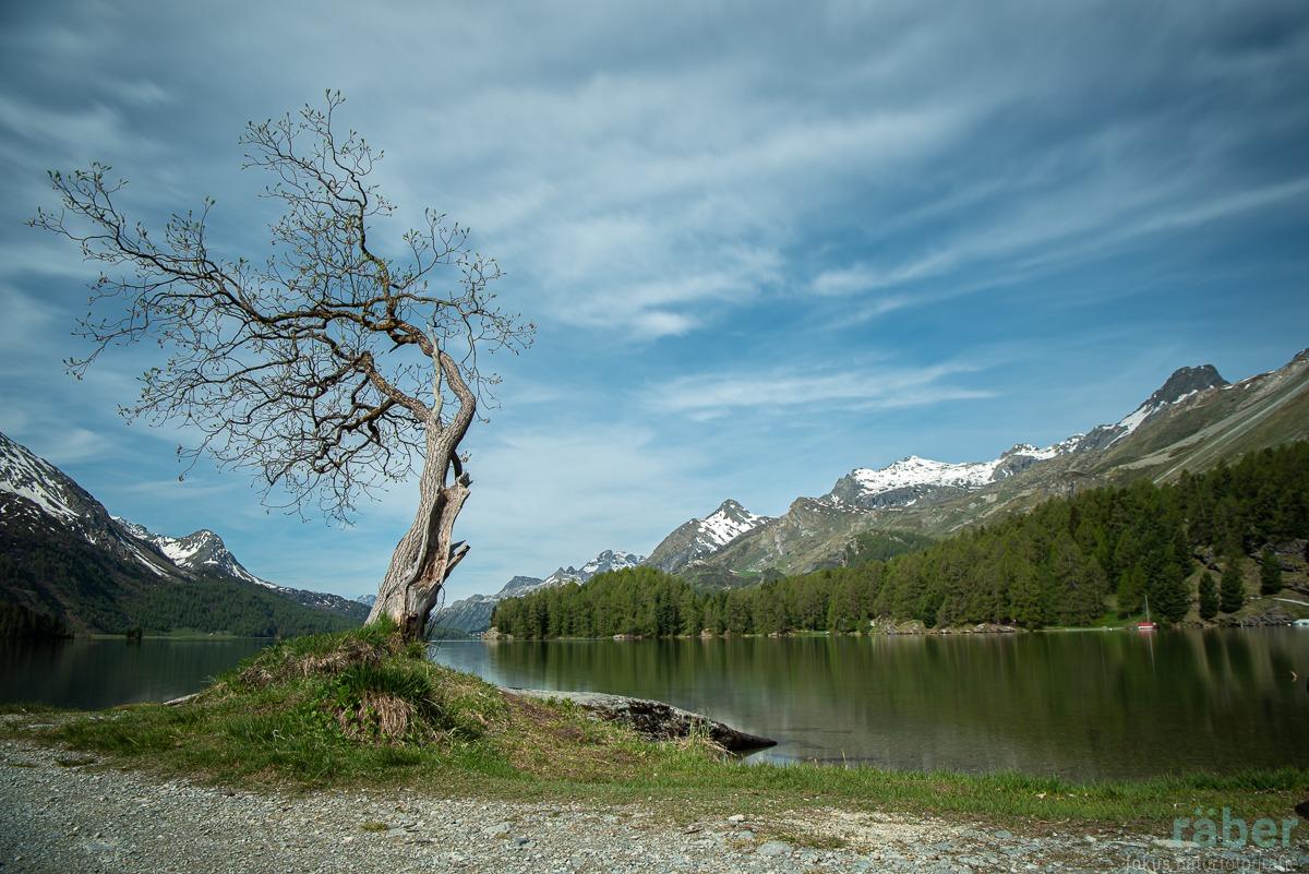 Silsersee, Baum, Kanton Graubünden, 24.05.2020