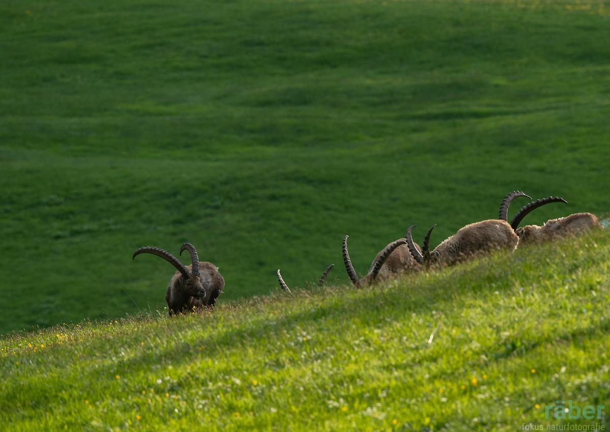 Steinbock-Herde im Abendlicht, Pontresina, Graubünden, 23.05.2020