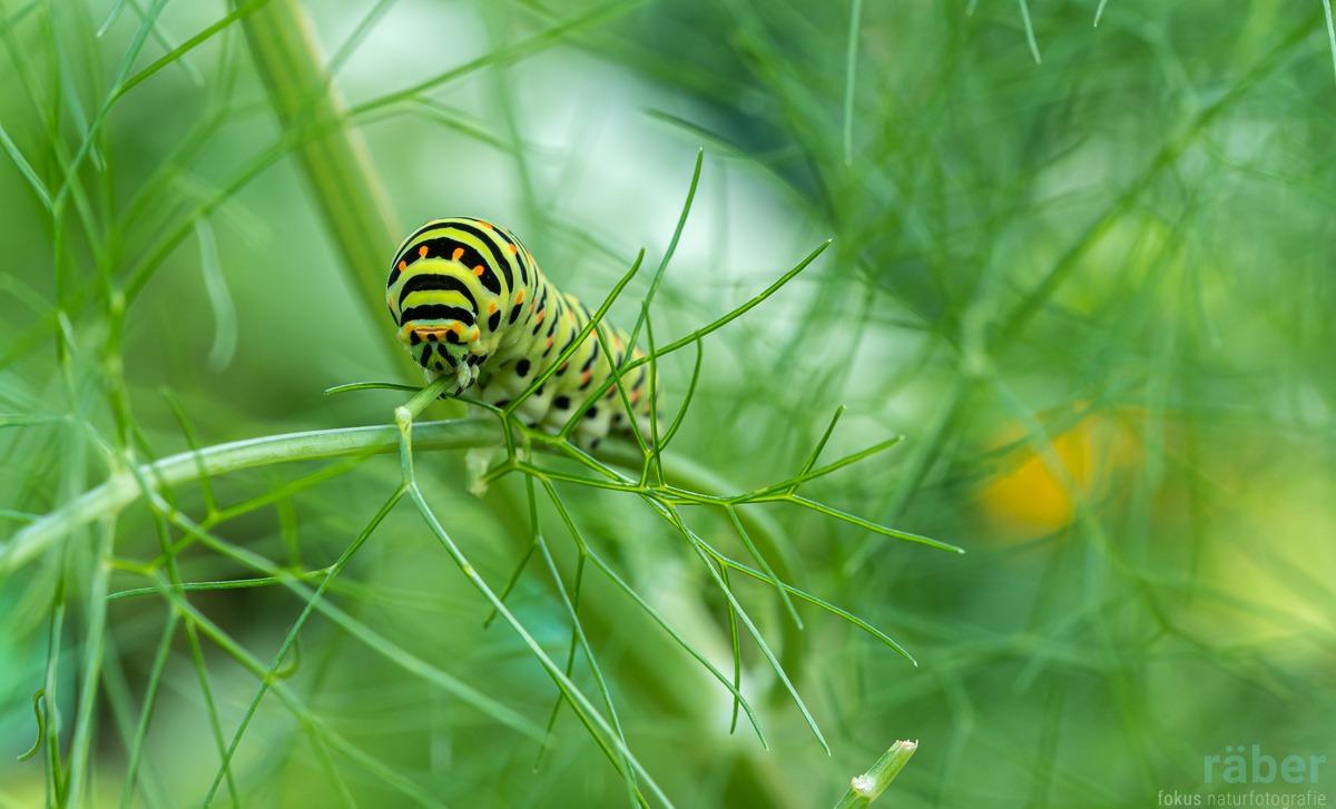 Insektenfotos: Schwalbenschwanz Raupe - Rüebliraupe - Adetswil, 15.8.2020
